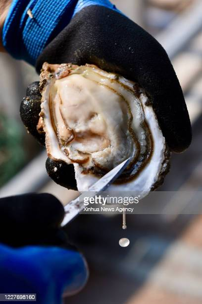 XIAPU July 16 2020 Yu Kaiming a farmer of Qiuzhugang Village displays a ripe triploid oyster in Changchun Township of Xiapu County southeast China's...