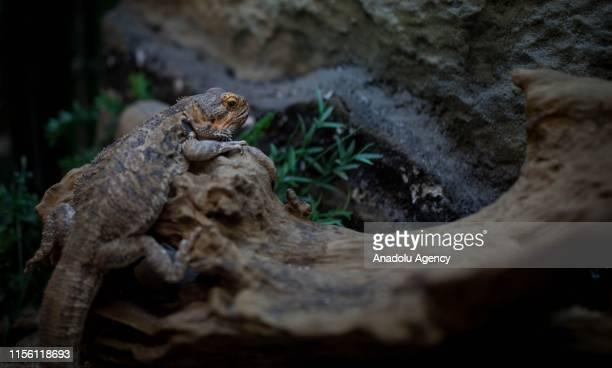 The Varanus Savanna is a species of lizard belonging to the genus Varanus native to Africa is seen in Medellin Colombia on July 17 2019 The Vivarium...
