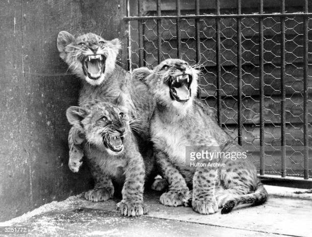 Three month old lion cubs bare their teeth at the Chessington Zoo in Surrey