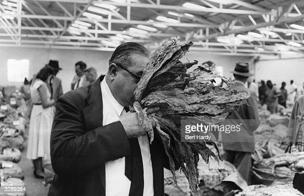 A buyer examining tobacco at the largest tobacco auction in the world at Salisbury in Rhodesia where 100000 worth of tobacco is sold every day...