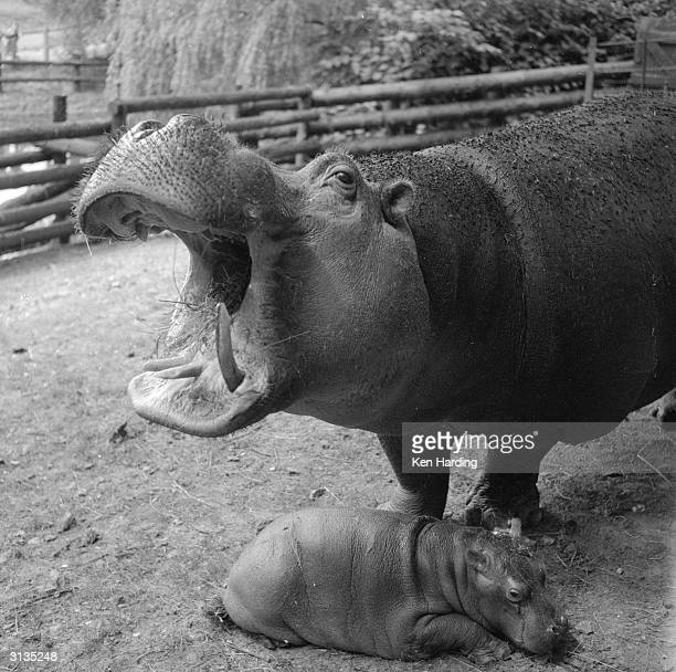Belinda the two and a half ton hippo with her 90 pound newborn offspring Junior at Whipsnade Zoo