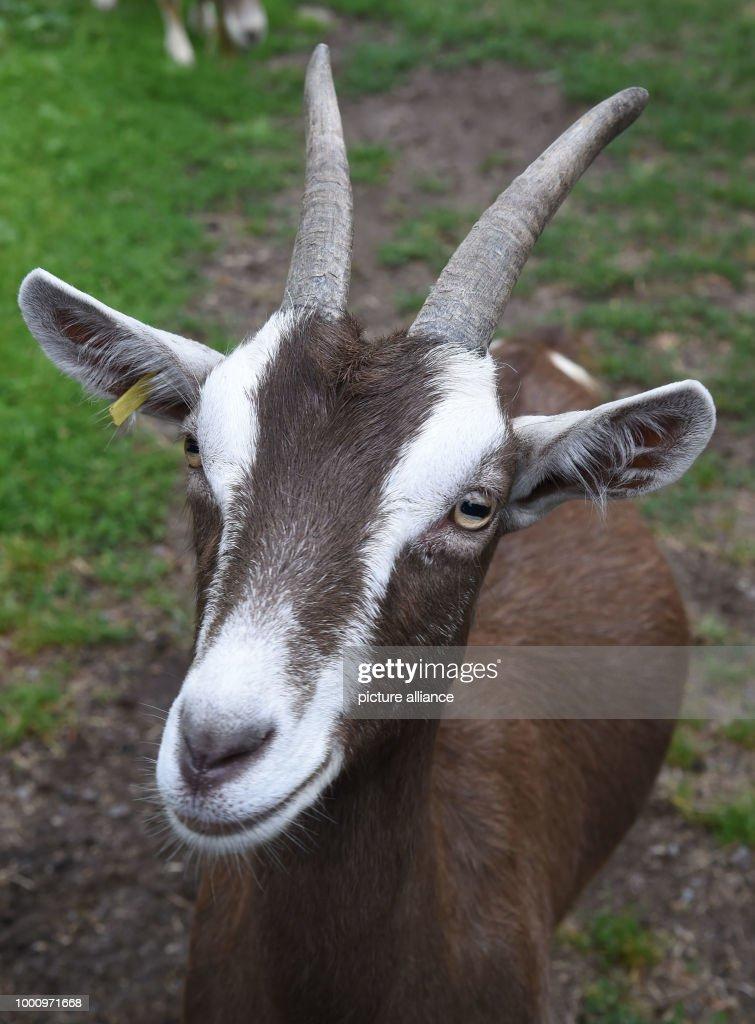 A goat of 'De Zeegenhoff' is on a meadow  Feta cheese