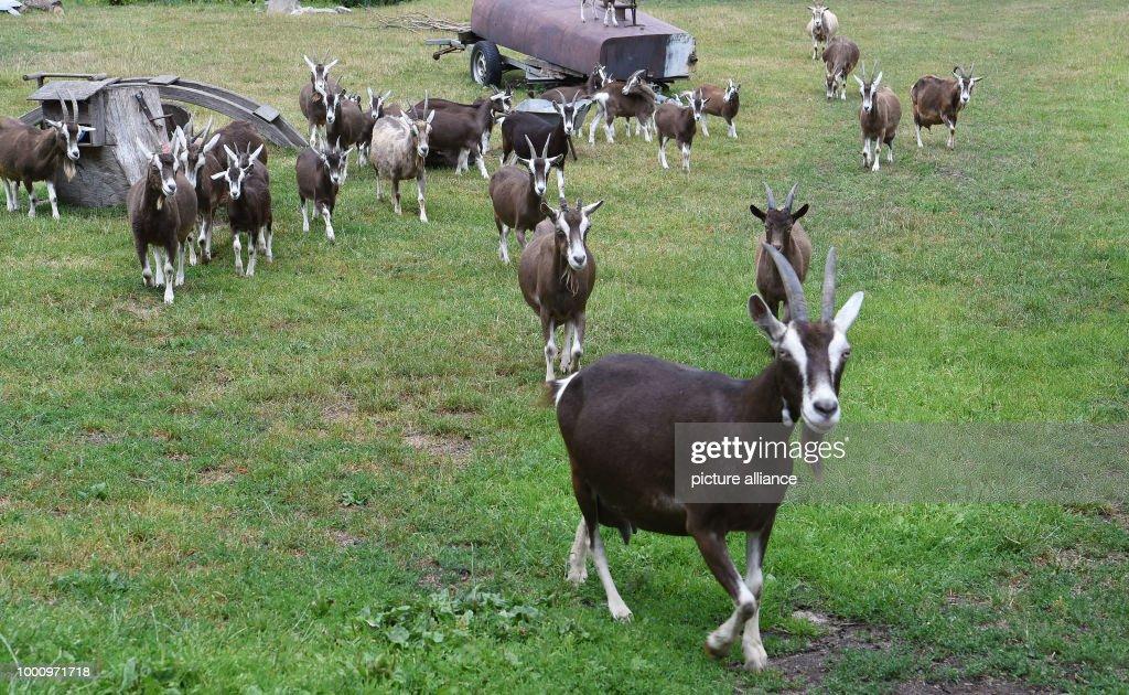 Goats of 'De Zeegenhoff' are on a meadow  Feta cheese