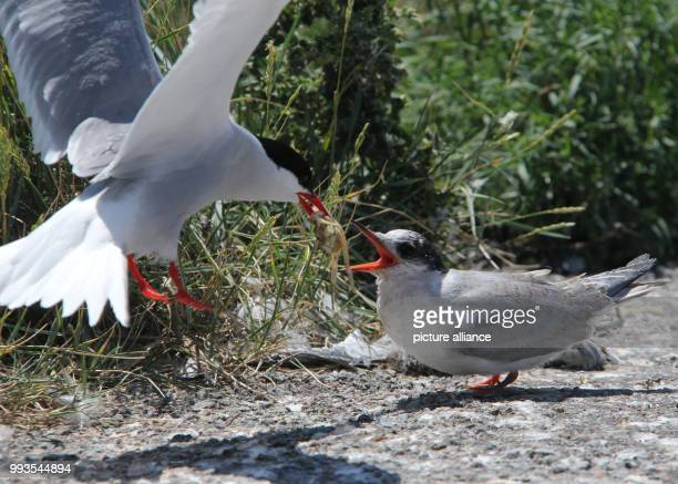 An Arctic tern brings its young a crab to eat The Arctic tern breeding colony at the Eider Barrage has been a tourist attraction for several years...