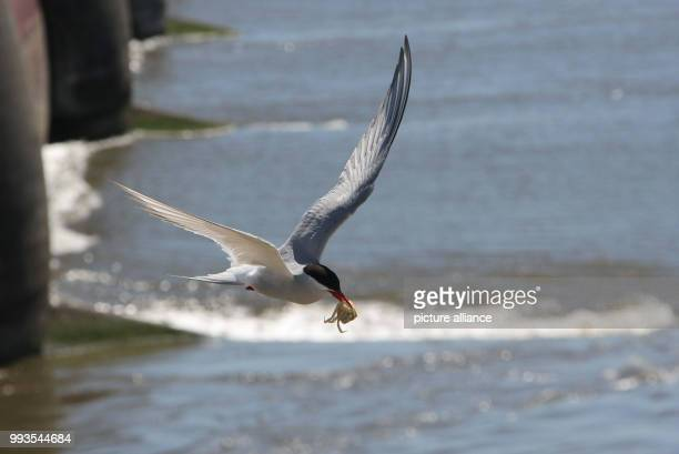 An Arctic tern flying to its nest with a fish in its beak The Arctic tern breeding colony at the Eider Barrage has been a tourist attraction for...