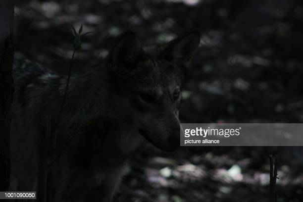 Some of the endangered wolf subspecies Canis lupus baileyi can be spotted at the zoo Los Coyotes The 17th of April saw the birth of eight new Canis...