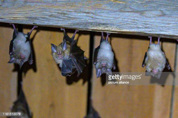 Horseshoenosed bats hang from the ceiling in a barn on the bathouse Photo Armin Weigel/dpa