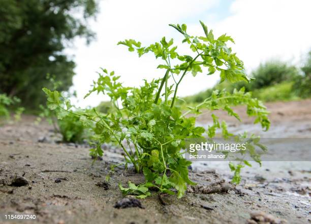 A freshly planted hemlock fennel stands in Kirchwerder an der Elbe The Elbe Habitat Foundation has planted 50 specimens of this endangered plant...