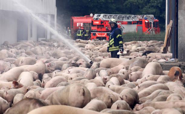 DEU: Fire At Pig Feed Lot