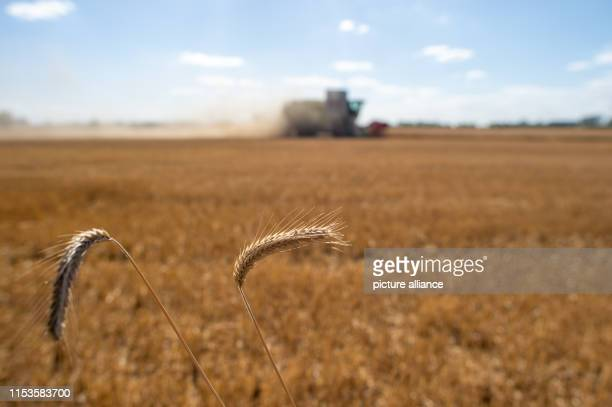 A combine harvester drives over a cornfield and harvests grain and whirls up dust Photo KlausDietmar Gabbert/dpaZentralbild/dpa