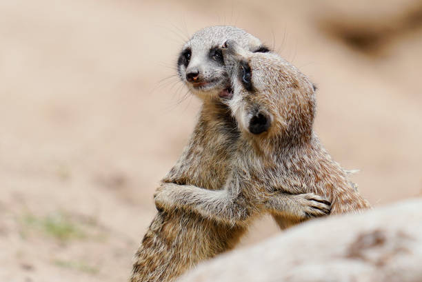 DEU: Heidelberg Zoo - Meerkats And Other Residents