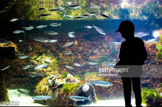 A boy stands in the aquarium of the Bremerhaven Zoo at the sea and looks at the European oyster on an oyster reef in a large tank Photo Mohssen...