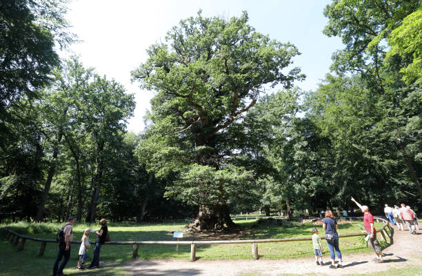 DEU: Thousand-Year-Old Oaks Defy The Drought