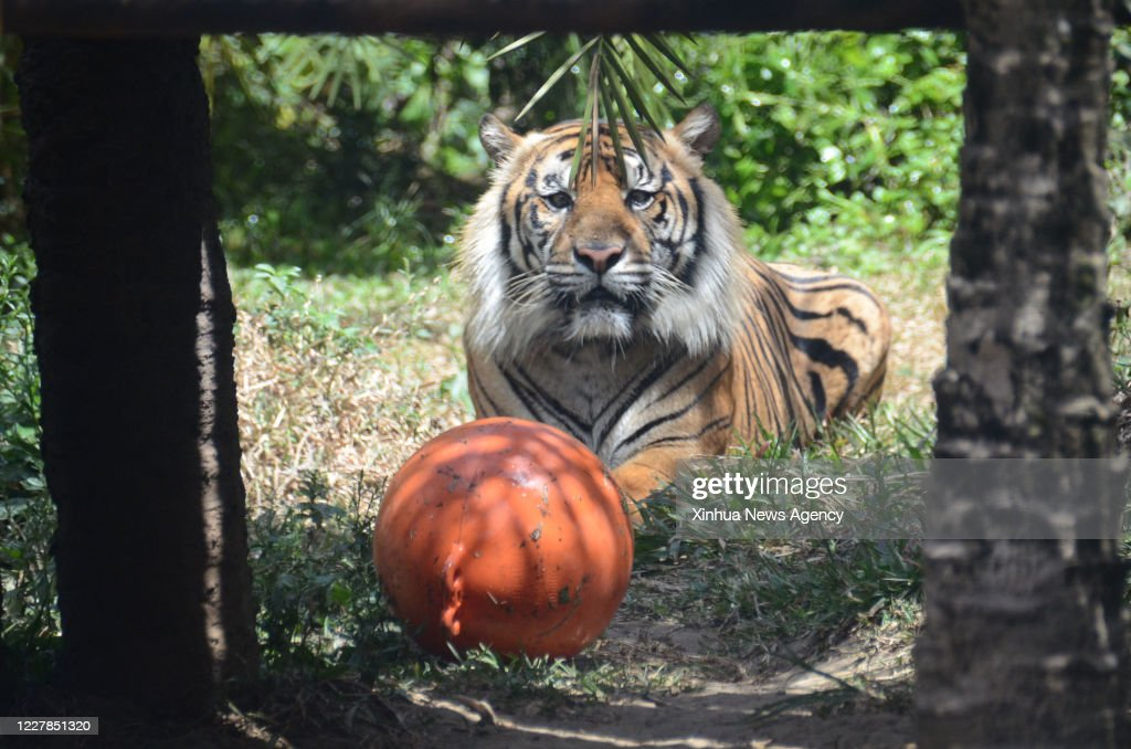 Malang July 29 2020 A Sumatran Tiger Is Seen At The Batu Secret News Photo Getty Images