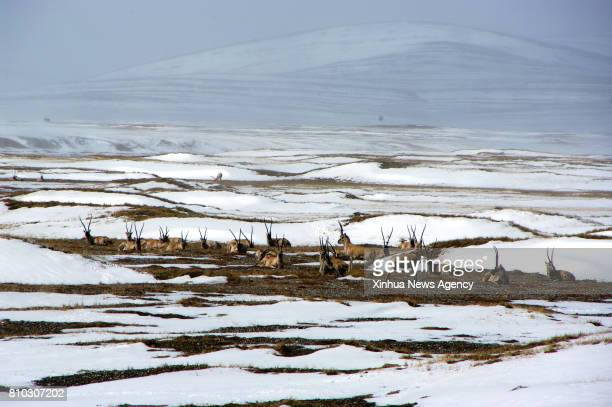 XINING July 7 2017 File photo shows Tibetan antelopes in Hoh Xil of northwest China's Qinghai Province The 41th session of the World Heritage...