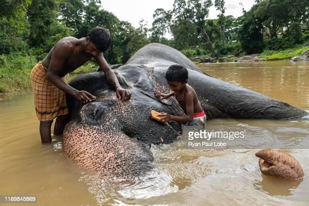 July 9th, 2019: Kirumaran and his young son Vindod bathe and scrub Murthy at the Theppakadu elephant camp at Tamil Nadu, India on the 9th of July,...