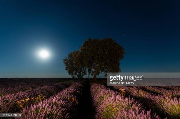 July's full moon known as 'Buck Moon' rises with Saturn and Jupiter over a lavender field near the village of Brihuega, one of the largest...