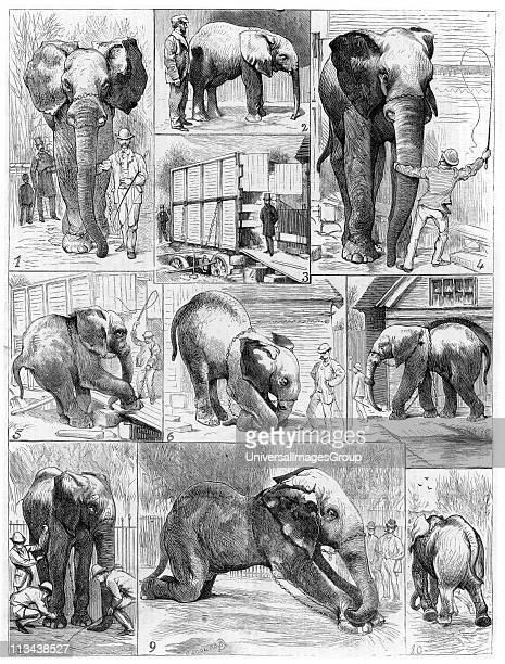 Jumbo the large African elephant sold by London Zoo in 1882 to the American showman Phineas Taylor Barnum for his circus which became known as the...