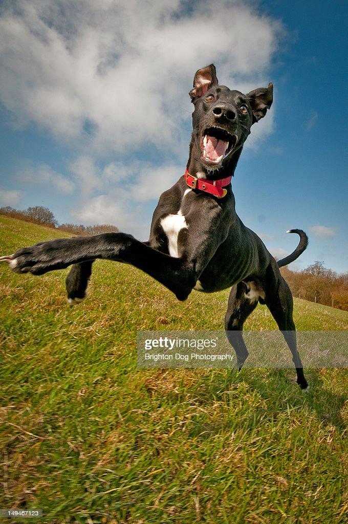 Jumping black Lurcher : Stock Photo