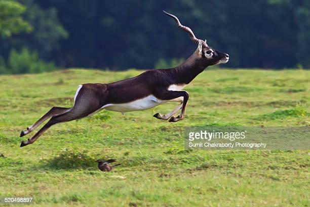 jumping blackbuck - odisha - fotografias e filmes do acervo