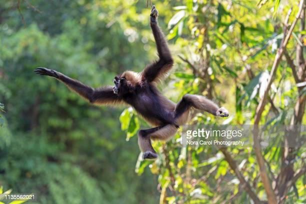 jumping bornean grey gibbon hylobates muelleri - un animal fotografías e imágenes de stock