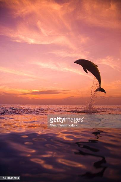 jumping bottlenose dolphin - dolphin stock pictures, royalty-free photos & images