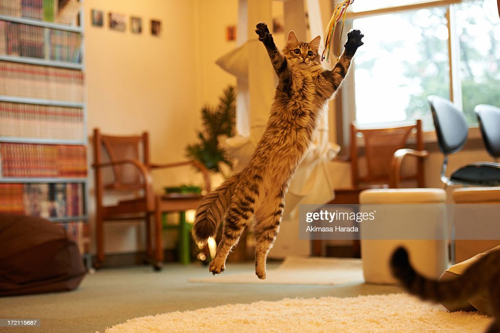 Jumping cat at Cat Cafe : Stock Photo