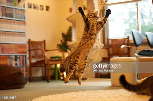 Jumping cat at Cat Cafe