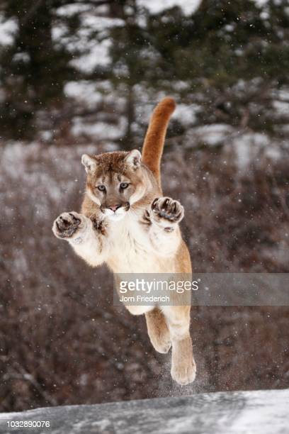 jumping cougar (felis concolor) in winter, montana, usa - carnivora stock photos and pictures