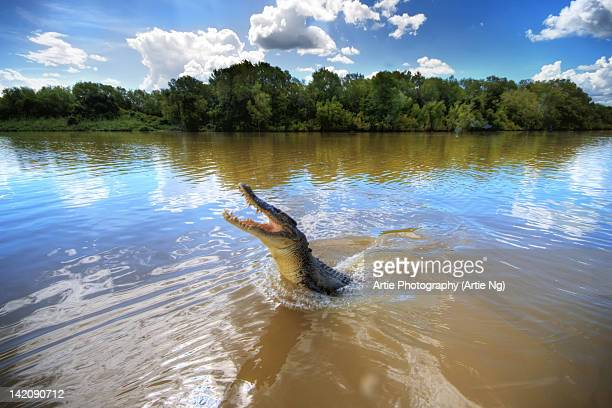 Jumping crocodile in Adelaide River, Darwin