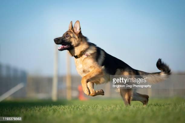 jumping dog - cão pastor alemão - fotografias e filmes do acervo