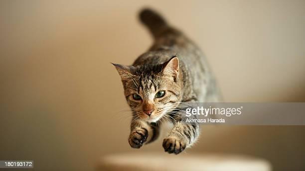 Jumping domestic tabby cat