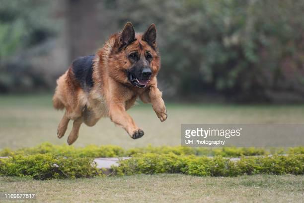 a jumping german shepherd - german shepherd stock pictures, royalty-free photos & images