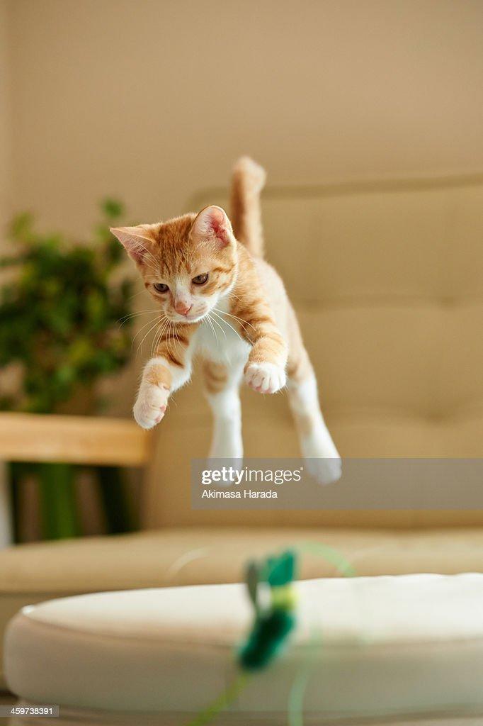 Jumping Ginger Kitten : Stock Photo