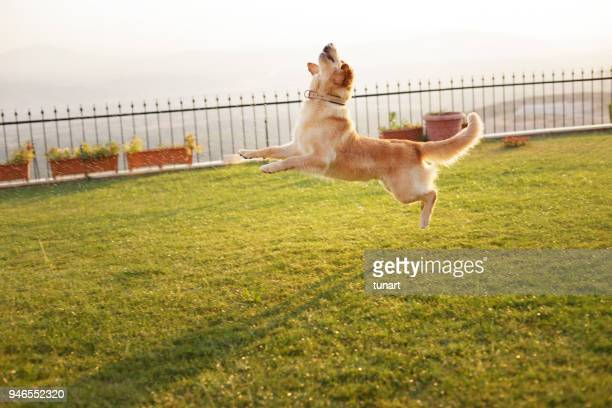jumping golden retriever - fence stock pictures, royalty-free photos & images