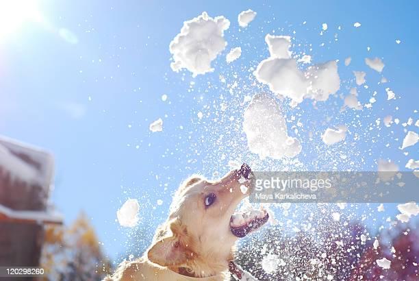 Jumping golden retriever with snow balls