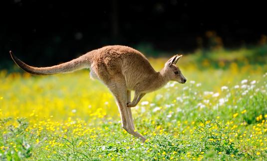 jumping kangaroo 171137874