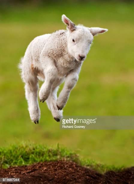 Jumping lamb on grass