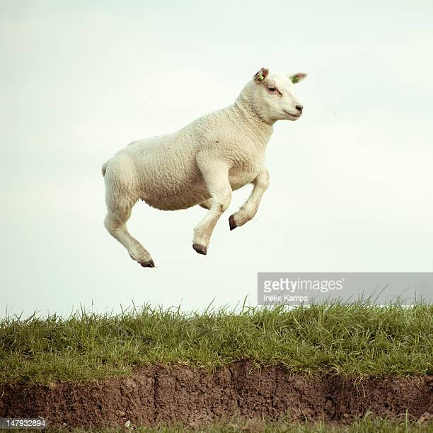 jumping lamb - sheep stock pictures, royalty-free photos & images