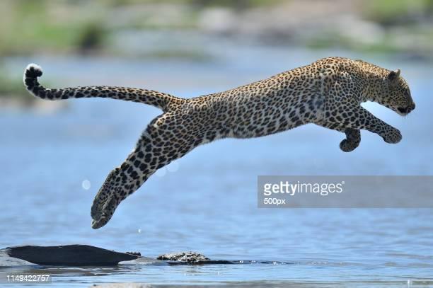 jumping leopard - leopardo foto e immagini stock