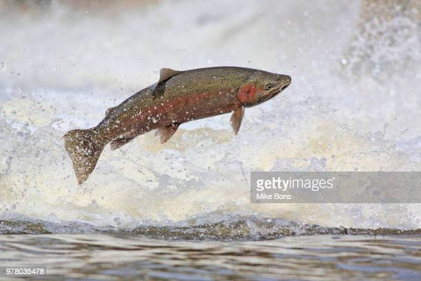 Jumping marble trout (Salmo trutta morpha fario), Port Hope, Ontario, Canada