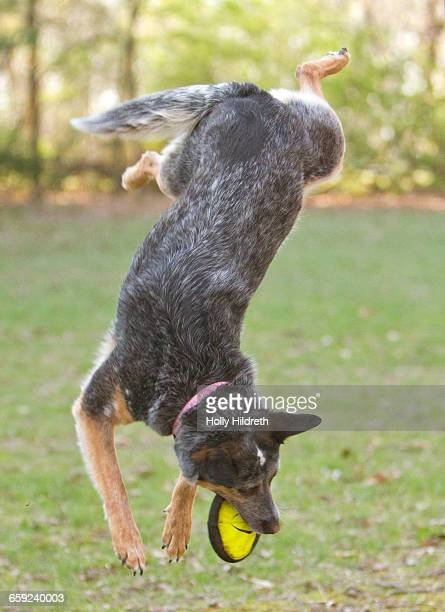 jumping pets - australian cattle dog stock photos and pictures