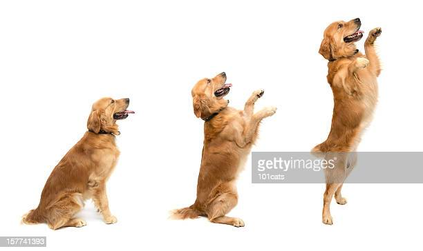 jumping - golden retriever stock pictures, royalty-free photos & images