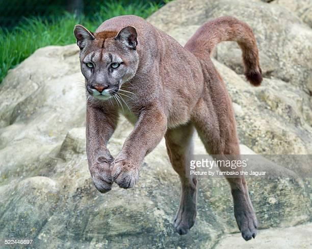 jumping puma - puma stock photos and pictures
