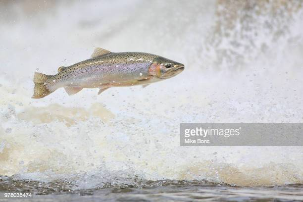 jumping rainbow trout (oncorhynchus mykiss), port hope, ontario, canada - trout stock pictures, royalty-free photos & images