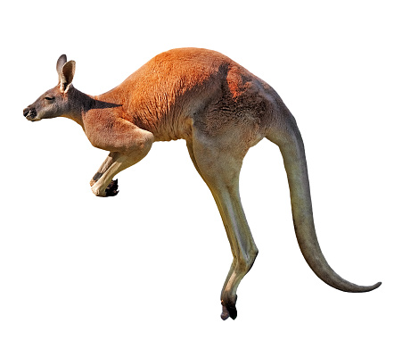 jumping red kangaroo 1183650397