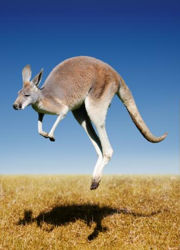 jumping red kangaroo 155154437