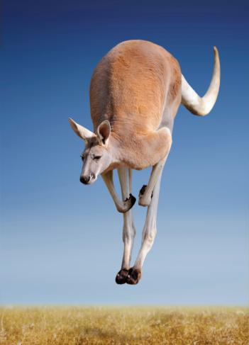 jumping red kangaroo 163639077