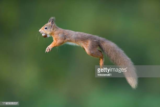 jumping red squirrel carrrying hazelnut in mouth - くわえる ストックフォトと画像