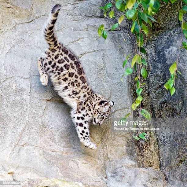 Jumping snow leopard cub.
